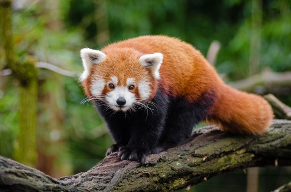 Red Panda - Ailurus fulgens - The animal from which Firefox web browser takes its name